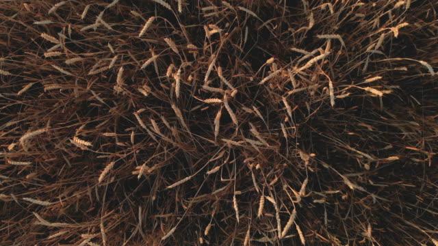 hava yukarıdan ayak-in buğday alanı altın tahıl ürünleri yavaş yavaş aşağı rüzgar buğday tarafından taşındı çim yaygın günbatımı 4 k çözünürlüklü 100 mbps üzerinde ekili olduğunu - çavdar stok videoları ve detay görüntü çekimi