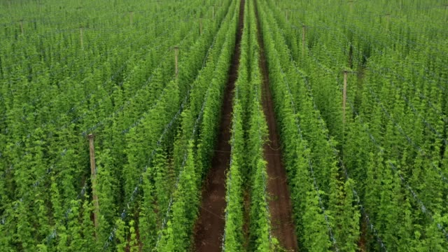 Aerial top down view moving up above a hop plantation grown in central europe