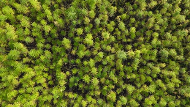 Aerial top view from closeup to wide of a beautiful marijuana CBD hemp field