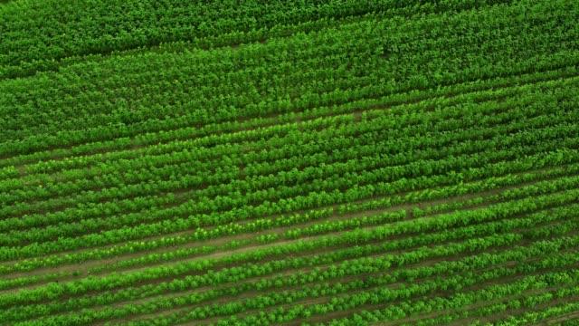 vidéos et rushes de champ vert aérien de vue supérieure - plantation