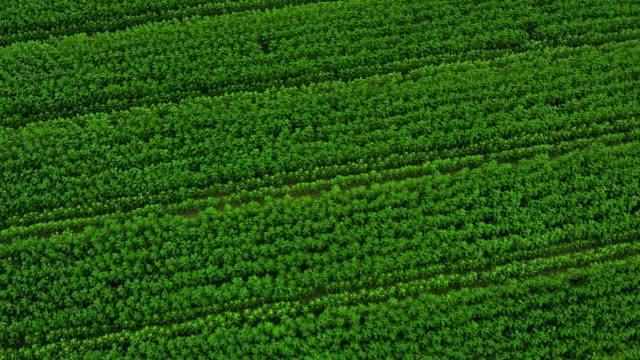 vídeos de stock, filmes e b-roll de campo verde da vista superior aérea - plantação