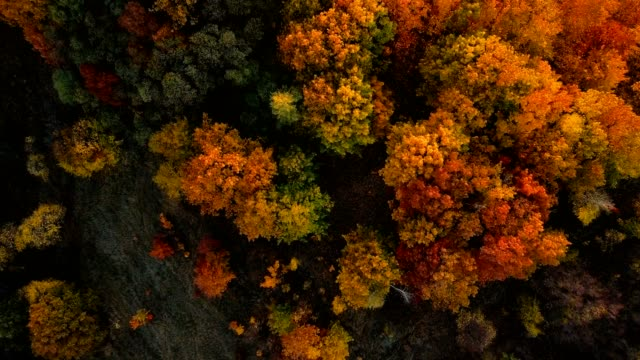 Aerial top view of the autumn deciduous forest at sunset. Oak grove at autumn.