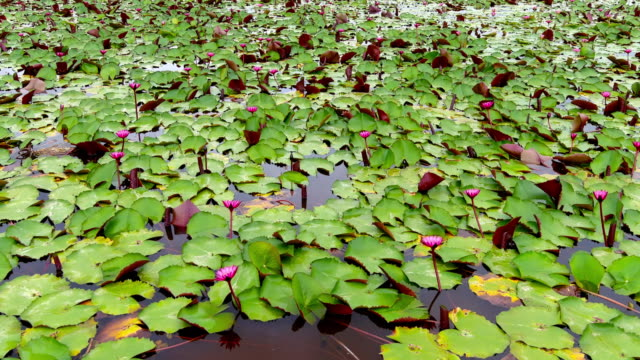 Aerial top view of the plenty lotus in the pond fast forward