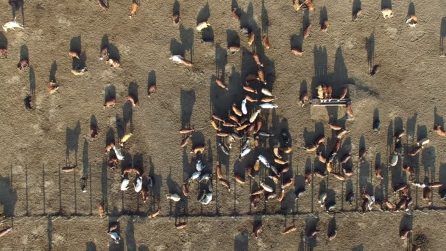 Aerial vertical zoom out of cattle in a feedlot video