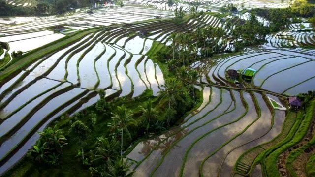 aerial video in an amazing landscape rice field on jatiluwih rice terraces, bali, indonesia. - taras ryżowy filmów i materiałów b-roll