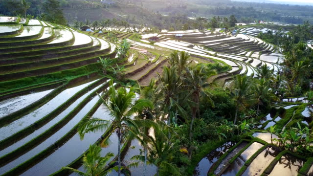 aerial video in an amazing landscape rice field on jatiluwih rice terraces. - индонезия стоковые видео и кадры b-roll
