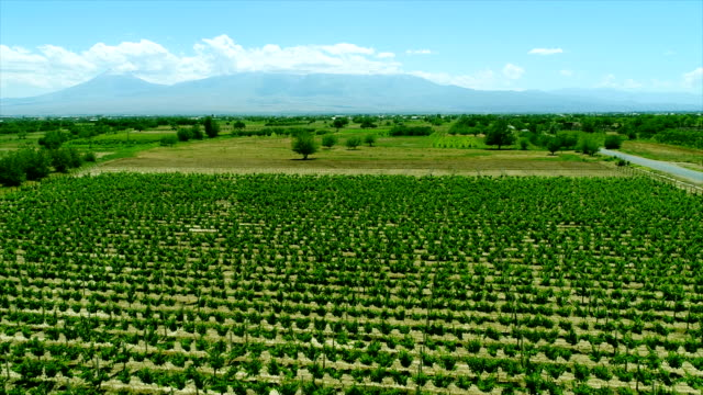 Aerial video in an amazing vineyards landscape with drone, above vineyards in a beautiful day . Grapes In The Vineyard . Aerial view of green vineyard . Wine industry . Stock Video Footage .