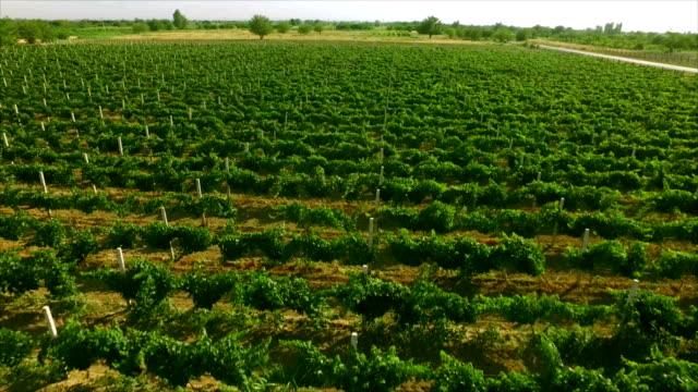 Luftvideo in einer erstaunlichen Weinberglandschaft mit Drohne, über Weinbergen in einem schönen Tag. Trauben im Weinberg . Luftaufnahme des grünen Weinbergs . Weinindustrie . Stock Video Footage . – Video