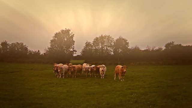 Aerial video-Kühe und Felder auf einem nebligen Morgen – Video