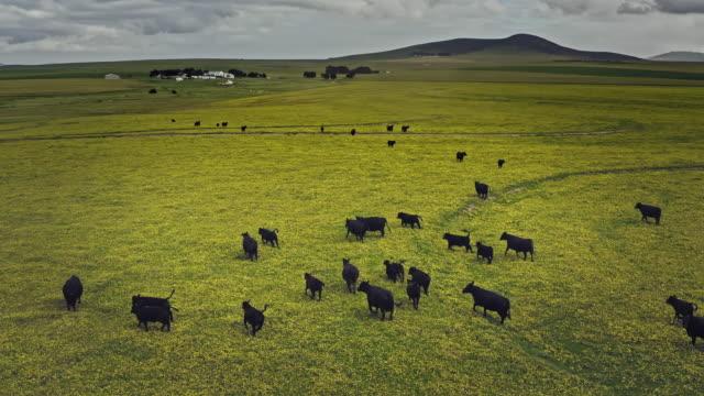 vídeos de stock e filmes b-roll de aerial video of cows on a prairie in cape town, south africa - gado animal doméstico