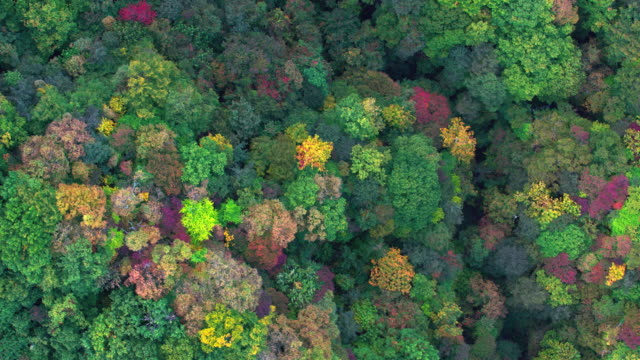 Aerial video of the mountain that is colored by autumn leaves. track-right pan-right video