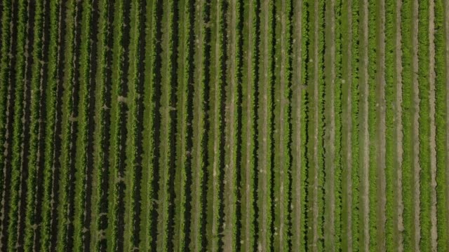 aerial view beautiful landscape bordeaux vineyard at sunrise,film by drone in summer - viticoltura video stock e b–roll