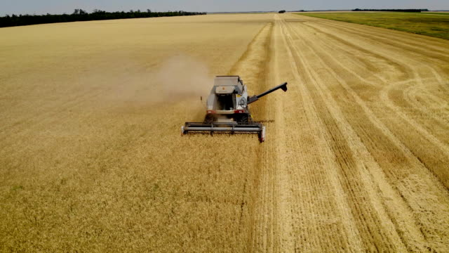 aerial view combine works in field for food industry collects ripe barley and mows yellow spikelets scissors agricultural machinery - orzo video stock e b–roll