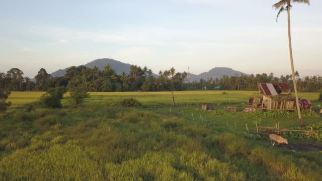 Aerial view cows and Malays wooden hut Aerial view cows and Malays wooden hut in the farmland with BUkit Mertajam Hill as background. agricultural occupation stock videos & royalty-free footage