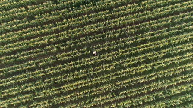 Aerial view directly above a farmer monitoring his corn crop with a digital tablet