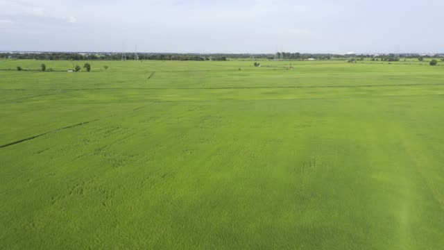 Aerial View drone shot on a rice field. Paddy rice on 4K Resolution B-Roll