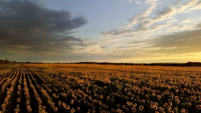 luftaufnahme: schnell fliegen über dem sonnenblumenfeld bei sonnenuntergang. fliegen nach vorn. - niedrig stock-videos und b-roll-filmmaterial