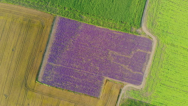 Aerial view, Flying above lavender field in rural countryside.