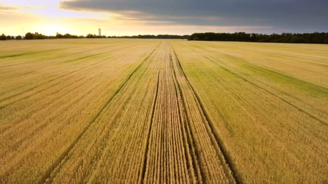 Aerial view: Flying above the not fully ripe wheat field at sunrise. Flying flying backward. video