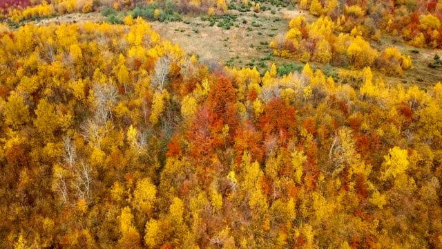 Aerial view: flying over beautiful autumn forest in Carpathian mountains. Yellow and red trees. video