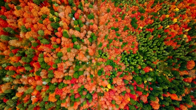 Aerial view: flying over beautiful mixed forest in Carpathian mountains in autumn. Vibrant colors. Slow. video