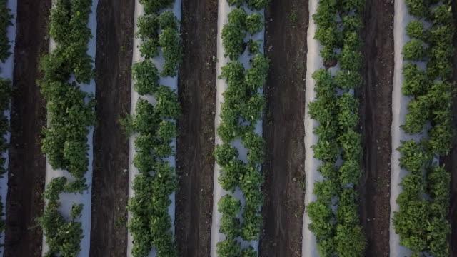 若い緑の行の上を飛んで空撮植物圃場 ビデオ