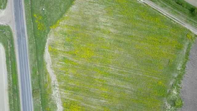 vídeos de stock e filmes b-roll de aerial view from drone in field of colza brassica napus in sunny day - crucíferas