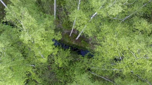 Aerial view from drone on the birch wood in the summer sunny day video