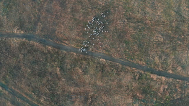 Aerial view. Goats grazing in field on farmland