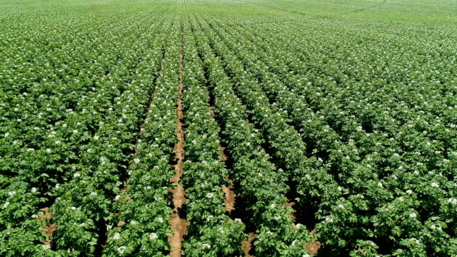 4K Aerial View. Green Field of Flowering Potatoes. Young Potatoes before Harvesting. video