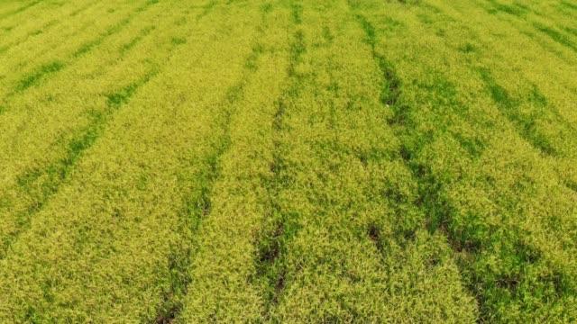 エアビューグリーンライスプランテーションフィールド (水田米) - 稲点の映像素材/bロール