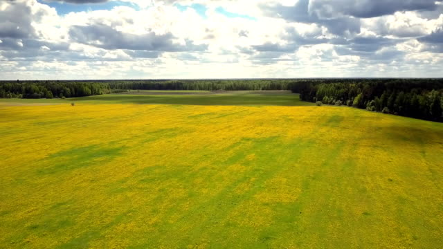 aerial view huge dandelion meadow surrounded by forests