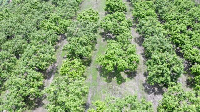 空中写真 タイのマンゴー果樹園 - 収穫点の映像素材/bロール