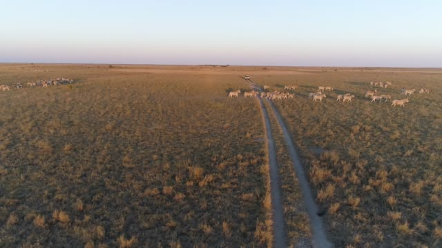 Aerial view of a 4x4 tourist safari vehicle looking at the zebra migration in the  Makgadikgadi grasslands, Botswana Aerial view of a 4x4 tourist safari vehicle looking at the zebra migration in the  Makgadikgadi grasslands, Botswana botswana stock videos & royalty-free footage