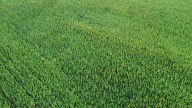 Aerial view of a beautiful marijuana CBD hemp field revealing horizon in sunset