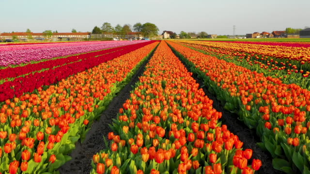 Aerial view of a blooming tulip field Aerial view of a blooming tulip field in the Lisse, Netherlands tulip stock videos & royalty-free footage