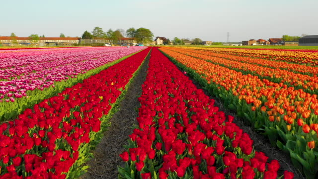 Aerial view of a blooming tulip field