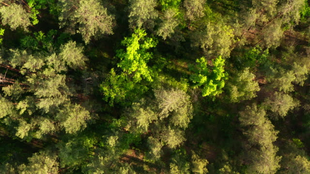 aerial view of a fresh green forest in the evening sun in summer. coniferous and deciduous trees in a displaced forest. natural landscape. forest background - pinaceae filmów i materiałów b-roll