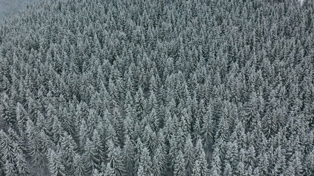 Aerial view of a frozen forest with snow covered trees at winter. Flight above winter forest in europe, top view.