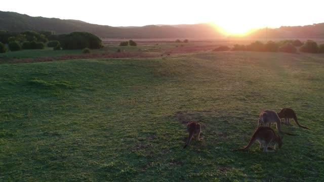 Aerial view of a herd of kangaroos in Australia