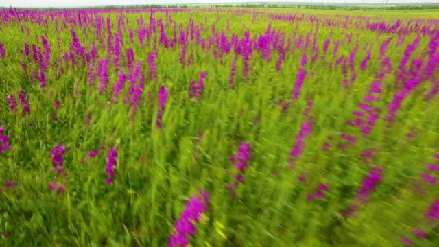 stockvideo's en b-roll-footage met luchtfoto van een groot gebied van prachtige purperen bloemen irissen - kleine scherptediepte