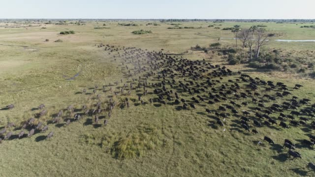 aerial view of a large herd of cape buffalo running towards the camera in the okavango delta, botswana - animale selvatico video stock e b–roll