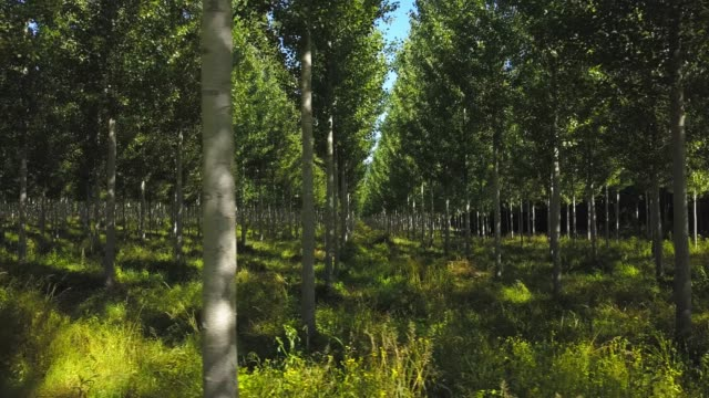 Aerial View Of A Poplar Trees Plantation, Sainte Croix Du Mont, Gironde, France Aerial View Of A Poplar Trees Plantation, Sainte Croix Du Mont, Gironde, France planting stock videos & royalty-free footage