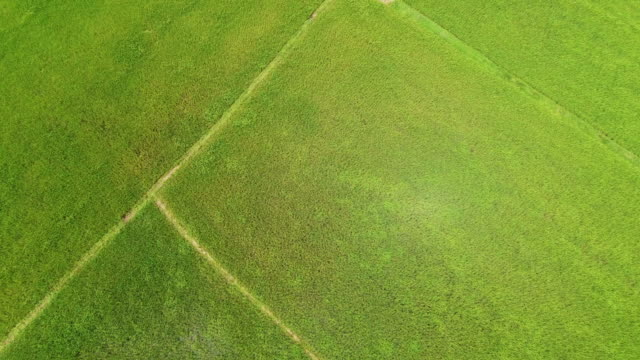 Aerial view of a rice fields in Thailand. video