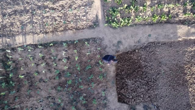 Aerial view of a senior male working in his community vegetable garden video