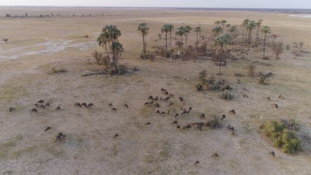 Aerial view of a wildebeest herd with palm trees in the background, Makgadikgadi Pans, Botswana Aerial view of a wildebeest herd with palm trees in the background, Makgadikgadi Pans, Botswana makgadikgadi pans national park stock videos & royalty-free footage