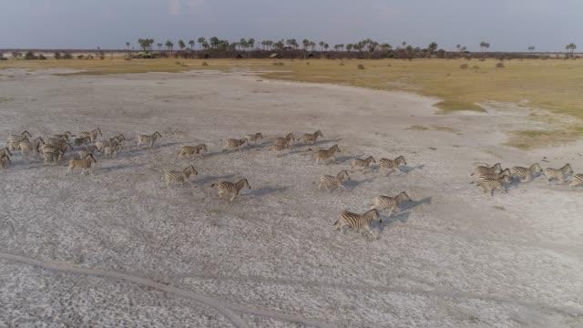 Aerial view of a Zebra herd running across a salt pan in the Makgadikgadi Pans, Botswana Aerial view of a Zebra herd running across a salt pan in the Makgadikgadi Pans, Botswana makgadikgadi pans national park stock videos & royalty-free footage