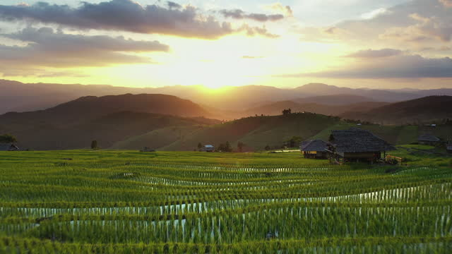 Aerial view of Agriculture in rice at Sunset Rice - Cereal Plant,Rice Paddy,Aerial View,Rice - Food Staple,Agricultural Field, Aerial view of Agriculture in rice at Sunset , Shoot format on 4:2:2 10bit All-i sa pa stock videos & royalty-free footage