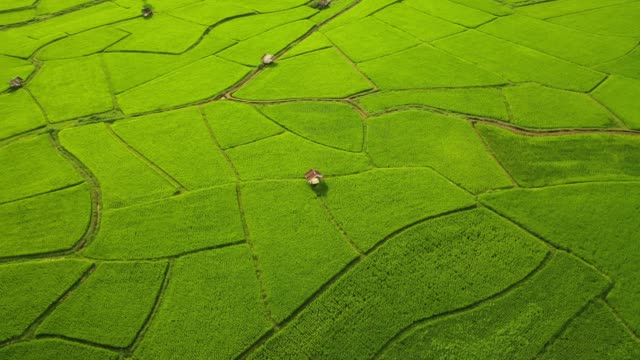 Aerial view of agriculture in rice fields for cultivation. Natural the texture for background video