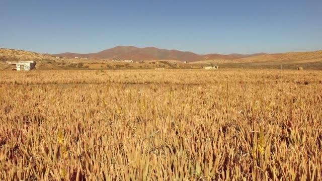 Vista aérea de plantaciones de Aloe vera en Fuerteventura, Islas Canarias. - vídeo